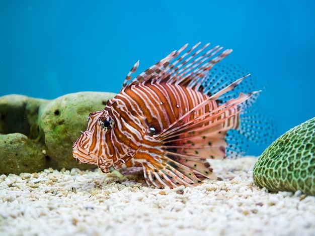 Lionfish ou diable poisson de feu nageant sur un fond bleu Photo Premium