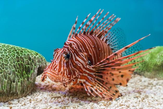 Lionfish (pterois volitans) Photo Premium