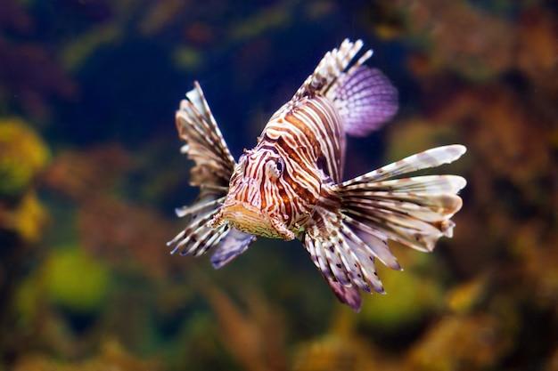 Lionfish rouge dans l'eau Photo gratuit
