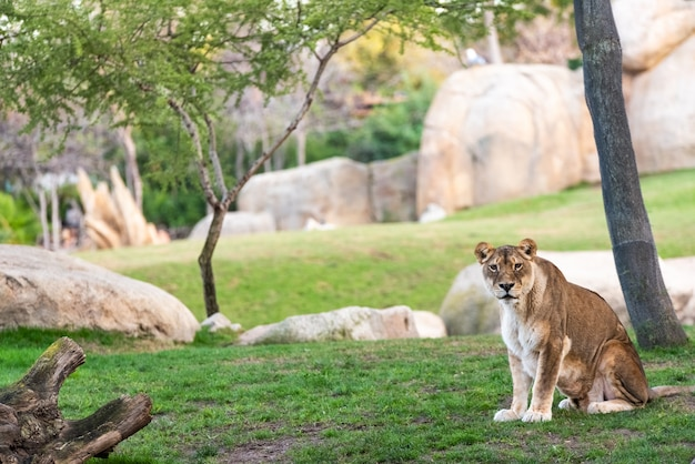 Lionne Regardant La Caméra Calmement Dans Un Zoo. Photo Premium