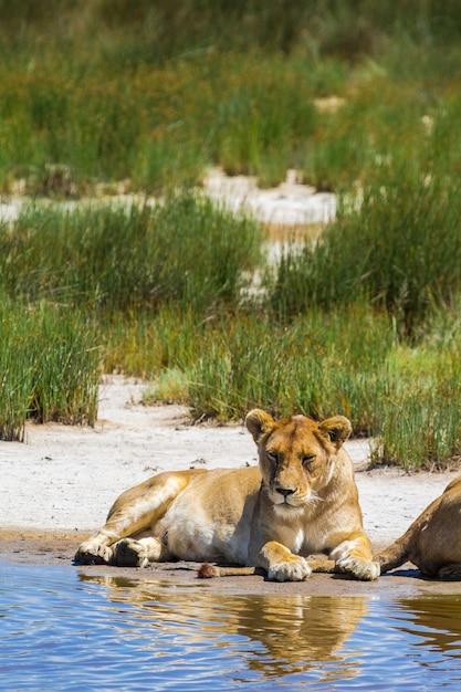 Lionne Sur La Rive De Sable. Fierté Des Lions Du Serengeti. Afrique Photo Premium