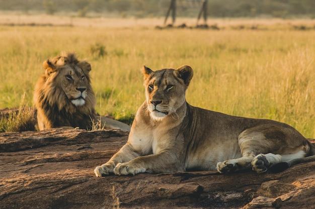 Lions Mâles Et Femelles Portant Sur Le Sable Et Se Reposant Photo gratuit