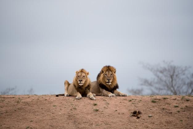 Lions Mâles Reposant Sur Le Sol Photo gratuit