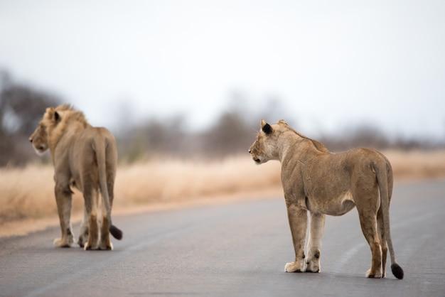 Lions Marchant Sur La Route Photo gratuit