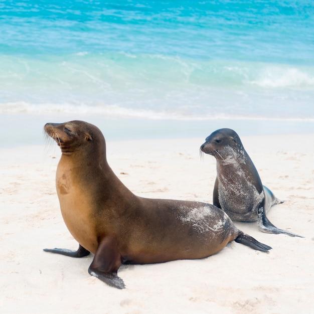 Lions de mer des galapagos (zalophus californianus wollebacki), baie de gardner, île d'espanola, îles galapagos, équateur Photo Premium