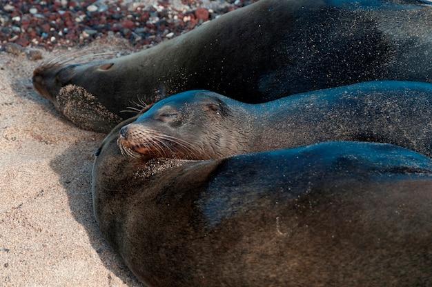 Lions De Mer Des Galapagos (zalophus Californianus Wollebacki), Puerto Baquerizo Moreno, île San Cristobal, îles Galapagos, équateur Photo Premium