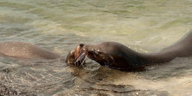 Lions De Mer Des Galapagos (zalophus Californianus Wollebacki), Punta Espinoza, île Fernandina, îles Galapagos, équateur Photo Premium