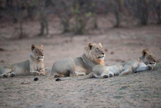 Lions Reposant Sur Le Sol Avec Un Arrière-plan Flou Photo gratuit