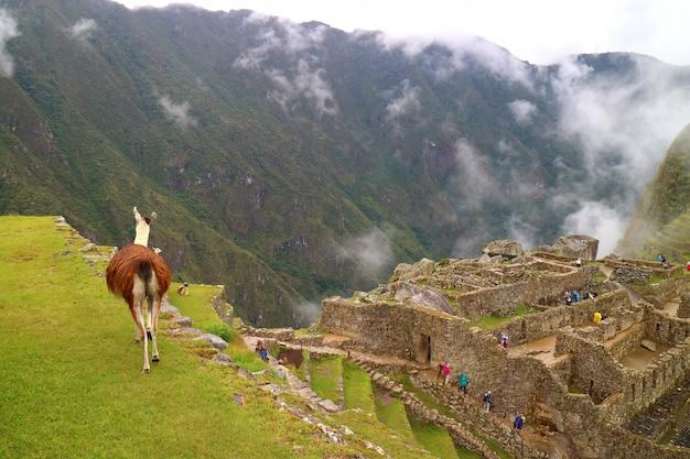 Llama marchant sur la colline verdoyante du site archéologique du machu picchu dans la région de cusco, au pérou Photo Premium