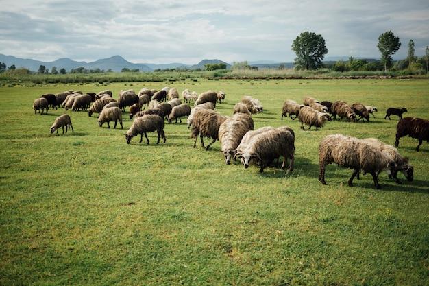 long-plan-troupeau-moutons-mangeant-herb