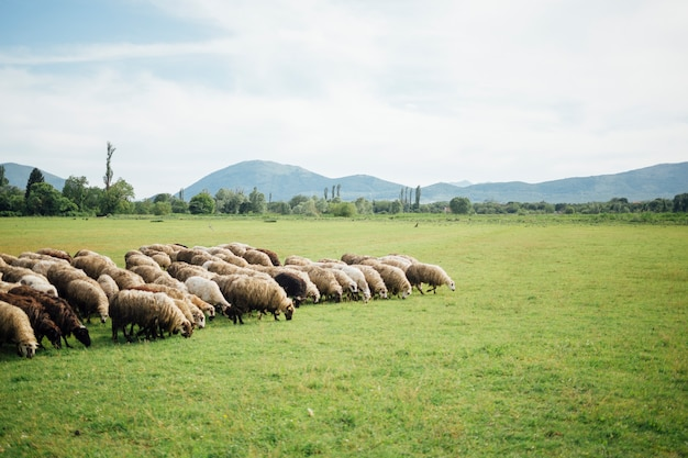 Long Plan Troupeau De Moutons Mangeant De L'herbe Photo gratuit
