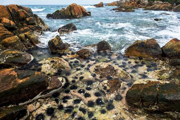 Longues épines Oursins Sur Le Rocher Photo Premium