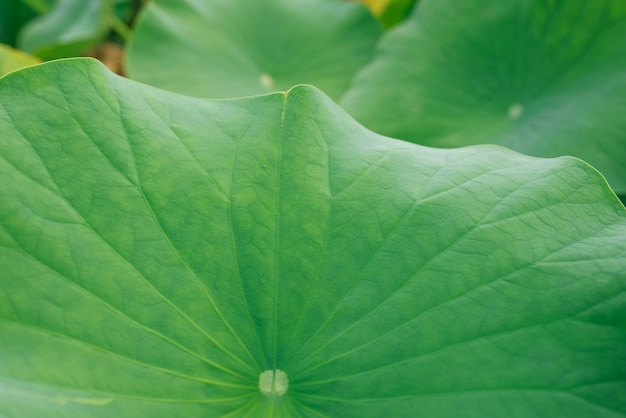 Lotus feuilles texture closeop Photo gratuit
