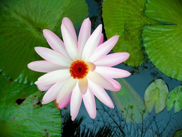 Lotus Rose Clair Dans L'étang. Photo Premium