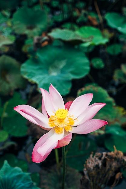 Lotus rose dans la piscine Photo gratuit