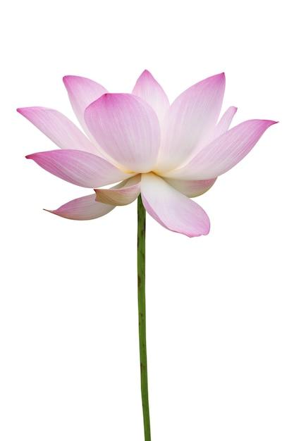 Lotus Rose Isolé Sur Blanc Photo Premium