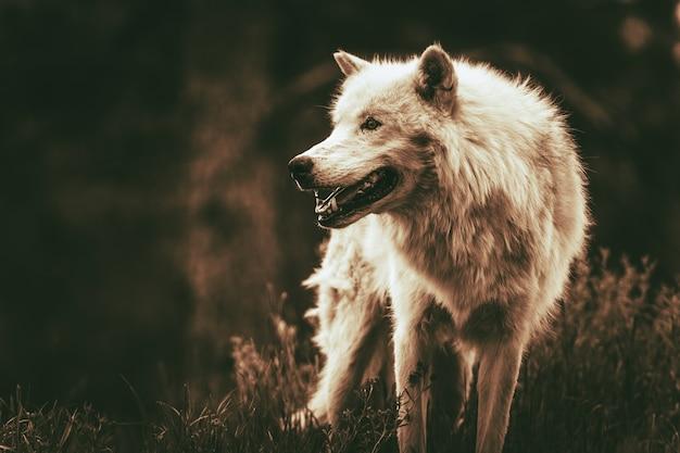 Loup alpha Photo gratuit