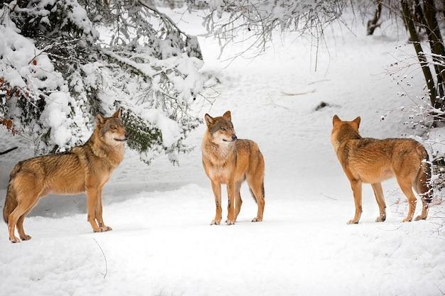 Loups en hiver Photo Premium