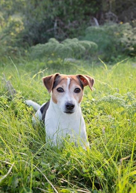 Ludique jeune chien jack russll couché dans l'herbe verte Photo Premium