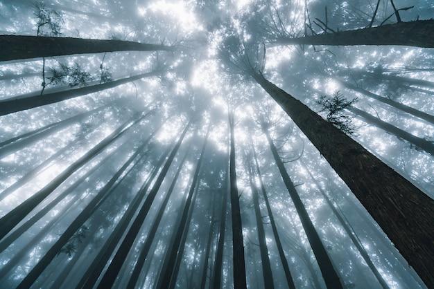 Lumière du soleil directe à travers les pins avec brouillard dans la forêt dans la zone de loisirs de la forêt nationale d'alishan Photo Premium