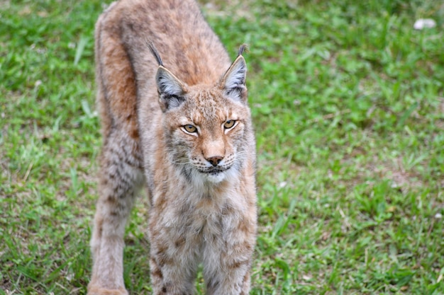 Lynx Boréal En Milieu Naturel Photo Premium
