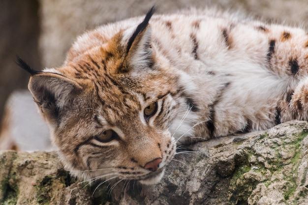 Lynx D'eurasie Regardant Vers Le Bas, (lynx Lynx) Photo Premium