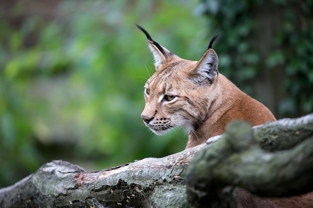 Lynx Un Portrait Photo Premium