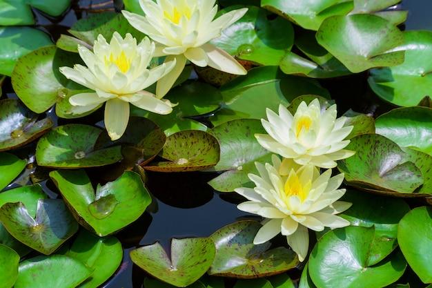 Lys nymphaea alba blanc flottant sur un lac Photo Premium