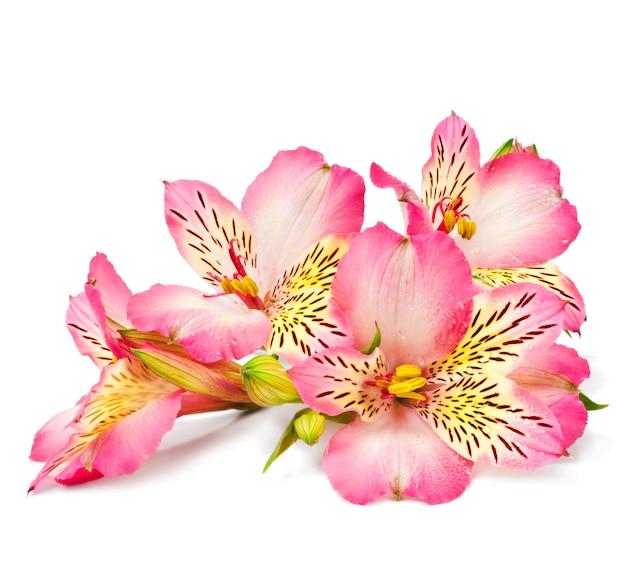 Lys Roses Sur Une Surface Blanche Photo Premium