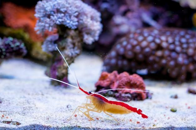 Lysmata amboinensis dans l'aquarium de récifs coralliens de home. Photo Premium
