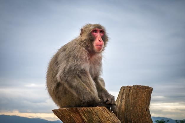 Macaque japonais sur un tronc, parc des singes iwatayama, kyoto, japon Photo Premium