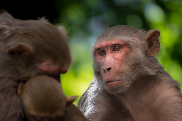 Le macaque rhésus Photo Premium