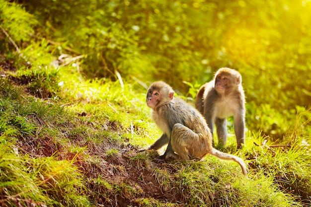 Macaques Rhésus En Forêt Photo Premium