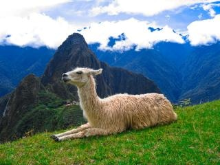 Machu picchu péruvien lama Photo gratuit