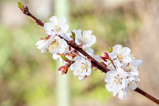 Macro fleur de pommier Photo Premium