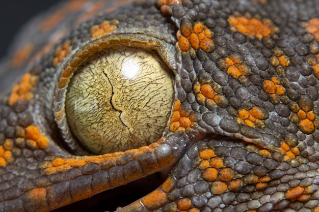 Macro oeil gecko Photo Premium