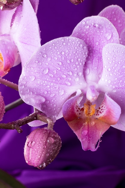 Macro d'orchidée rose avec des gouttes d'eau. branche de phalaenopsis sur violet. fermer. printemps. Photo Premium