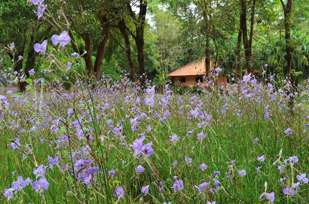 Magnifique Champ De Fleurs De Murdannia Pourpre Pastel Avec Un Minuscule Cottage En Arrière-plan, Thaïlande Photo Premium