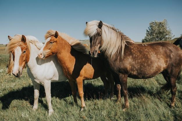 Magnifique cheval islandais blonde, poney, profilé Photo Premium