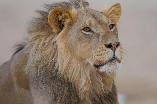 Magnifique Lion Au Milieu Du Désert Photo gratuit