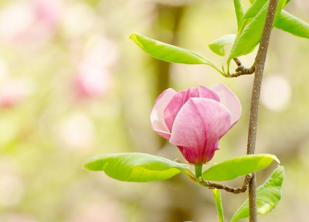 Magnifique magnolia en fleurs au printemps. Photo Premium
