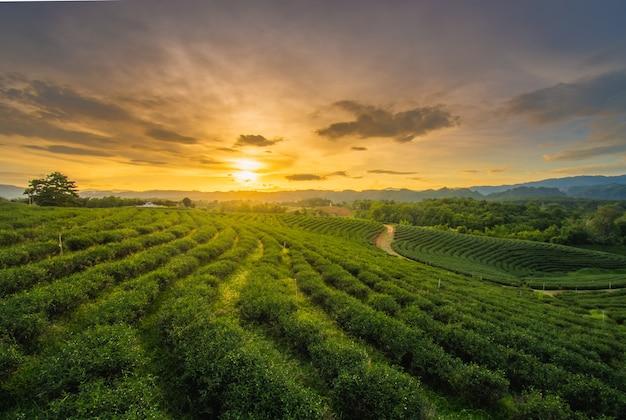 Magnifiques couchers de soleil sur la plantation de thé chui fong, dans la province de chiang rai, au nord de la thaïlande. Photo Premium