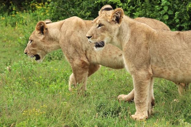Magnifiques Lionnes Marchant Sur Les Champs Couverts D'herbe Près Des Buissons Photo gratuit
