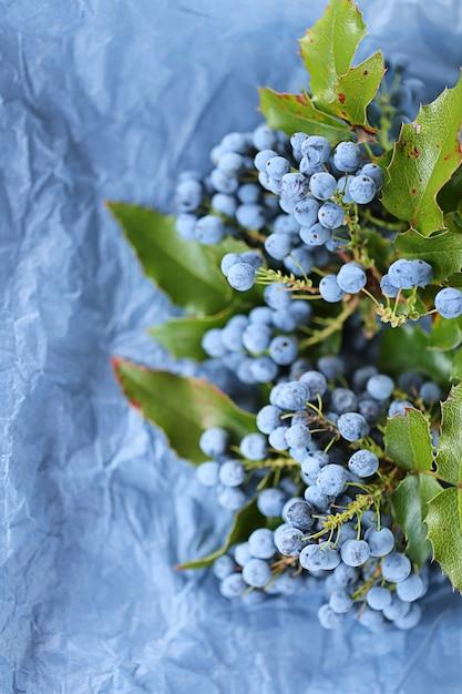 Mahonia Aquifolium. Baies Et Feuilles De Mahonia Sur Papier Froissé Bleu Photo Premium