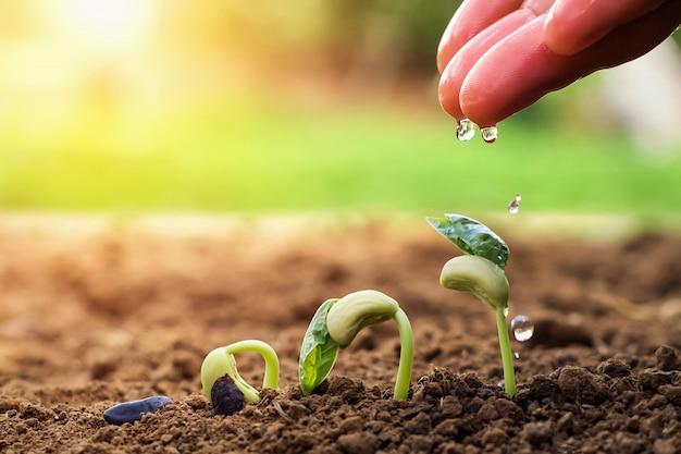 Main D'agriculteur Arrosant De Petits Haricots Dans Le Jardin Photo Premium