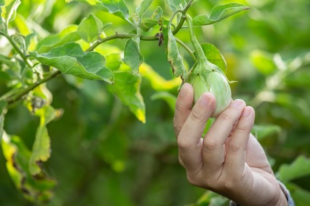 La main du fermier, la femme tenant le légume à la main et la rizière. Photo gratuit
