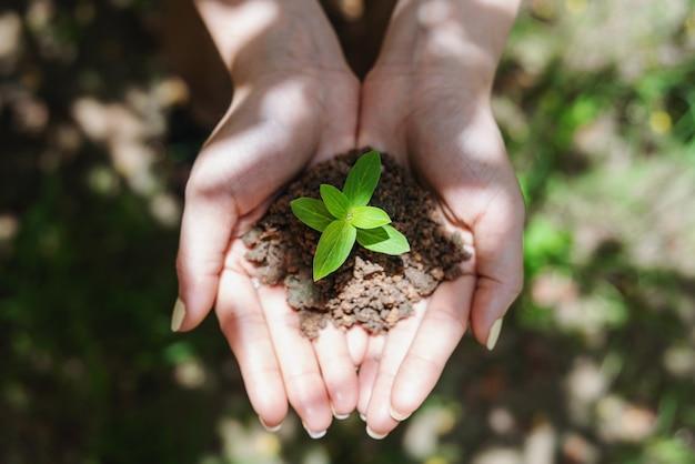 Main De Femme Tenant Une Plante Germée, Plante De Semis Dans Le Sol. Vue De Dessus. Photo Premium