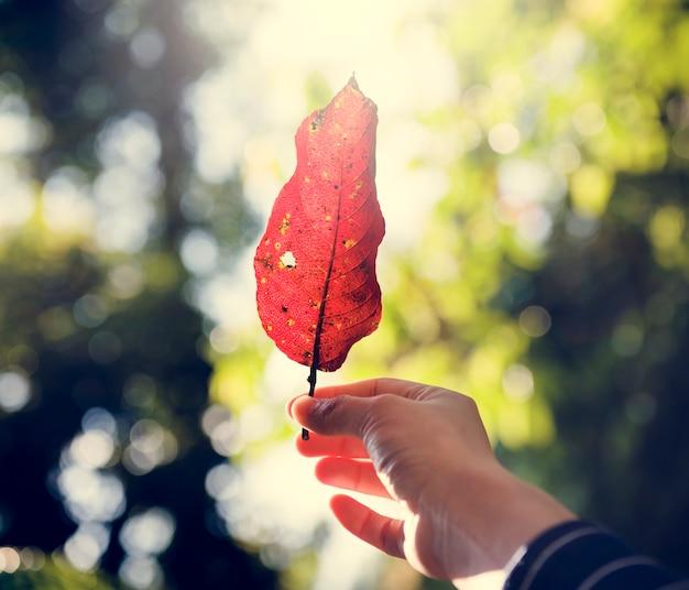 Main de l'homme tenant des feuilles tombées dans les bois Photo gratuit
