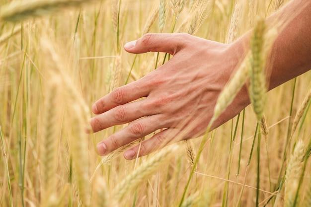 Main de jeune homme passe à travers des épillets de blé jaunes sur un champ se bouchent par une journée d'été ensoleillée Photo Premium