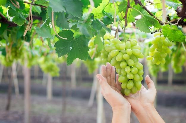 Main tenant une grappe de raisins verts frais suspendu à un buisson Photo Premium